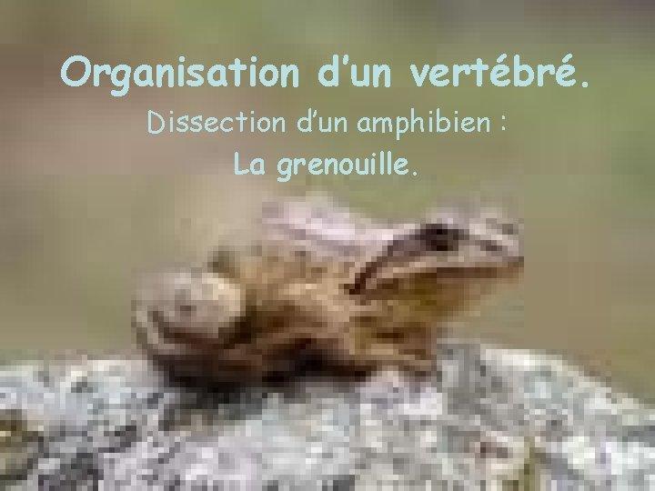 Organisation d'un vertébré. Dissection d'un amphibien : La grenouille.