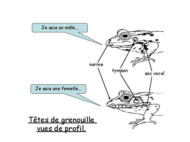 Je suis un mâle… narine Je suis une femelle… Têtes de grenouille vues de