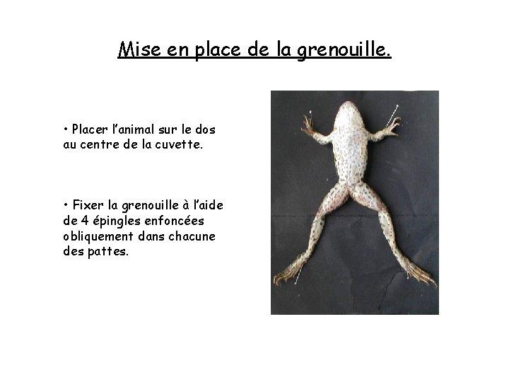 Mise en place de la grenouille. • Placer l'animal sur le dos au centre