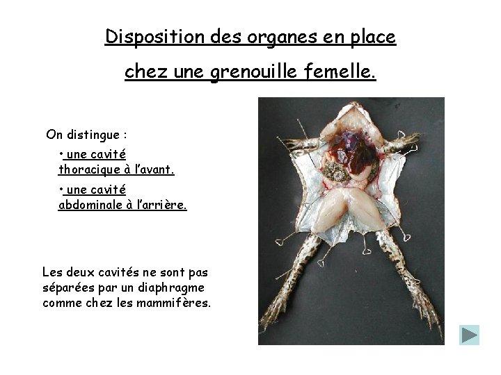 Disposition des organes en place chez une grenouille femelle. On distingue : • une