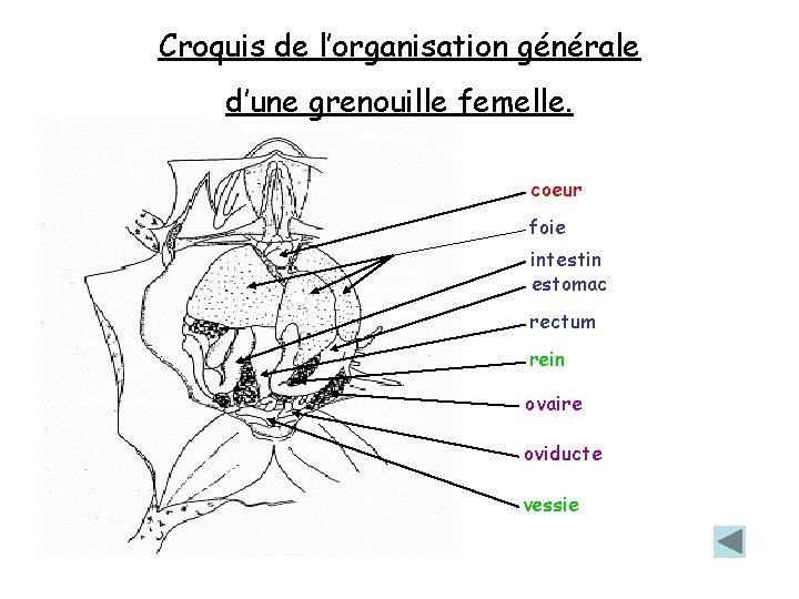 Croquis de l'organisation générale d'une grenouille femelle. coeur foie intestin estomac rectum rein ovaire