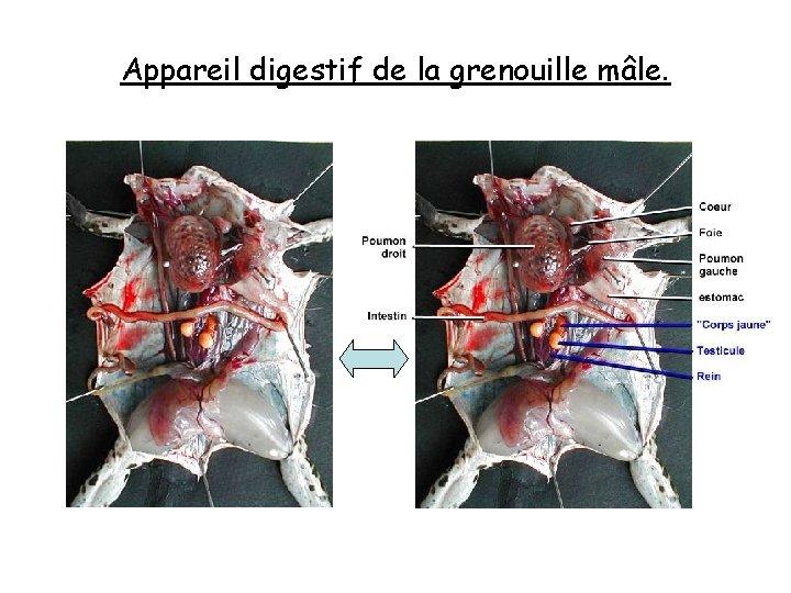 Appareil digestif de la grenouille mâle.