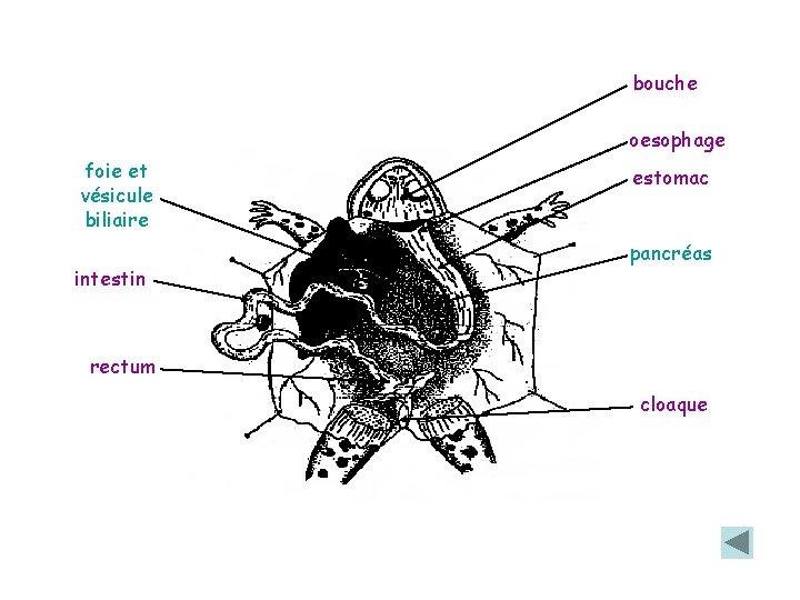 bouche oesophage foie et vésicule biliaire intestin estomac pancréas rectum cloaque