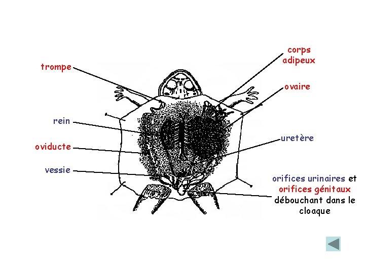 trompe corps adipeux ovaire rein oviducte vessie uretère orifices urinaires et orifices génitaux débouchant