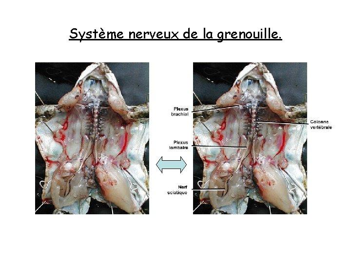 Système nerveux de la grenouille.