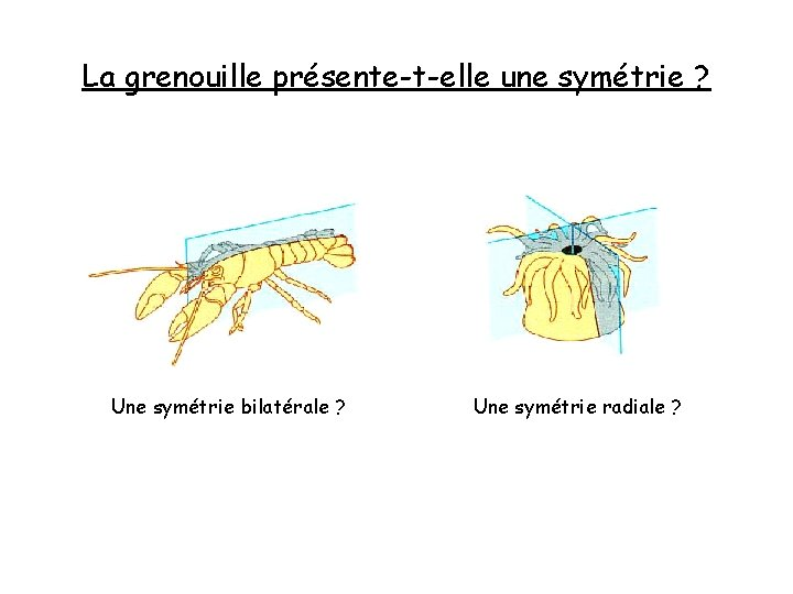 La grenouille présente-t-elle une symétrie ? Une symétrie bilatérale ? Une symétrie radiale ?