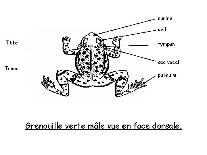 narine oeil Tête Tronc tympan sac vocal palmure Grenouille verte mâle vue en face