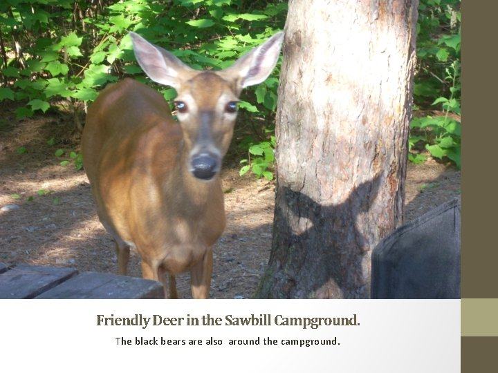 Friendly Deer in the Sawbill Campground. The black bears are also around the campground.