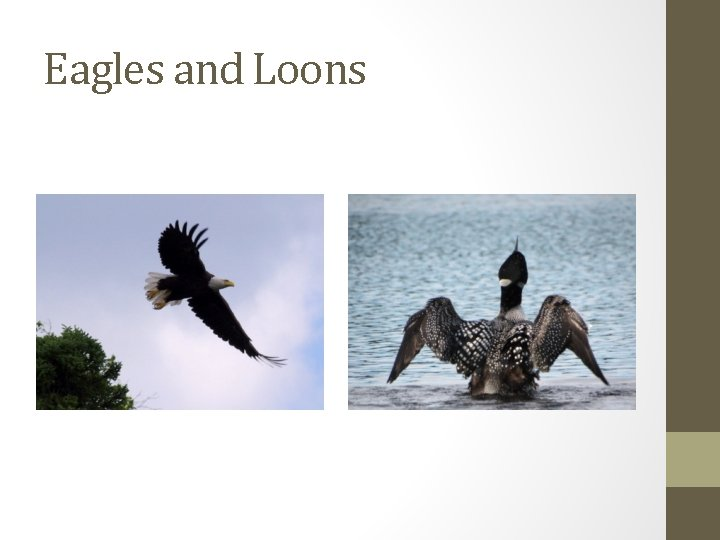 Eagles and Loons