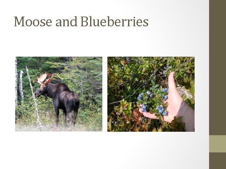 Moose and Blueberries