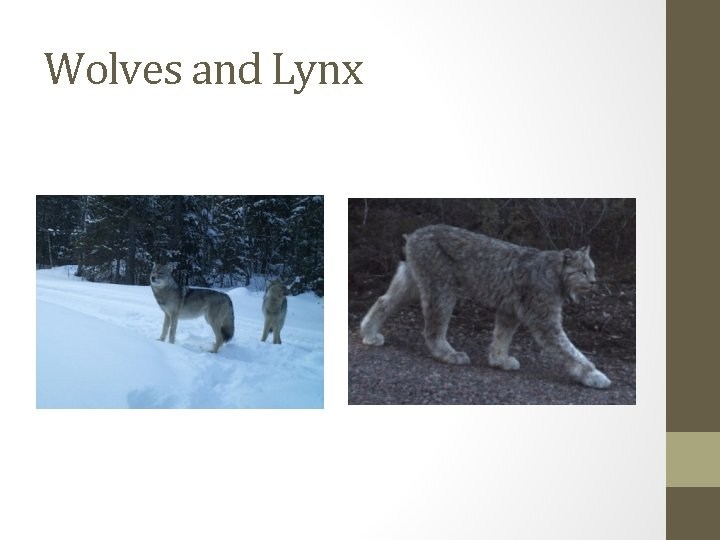 Wolves and Lynx