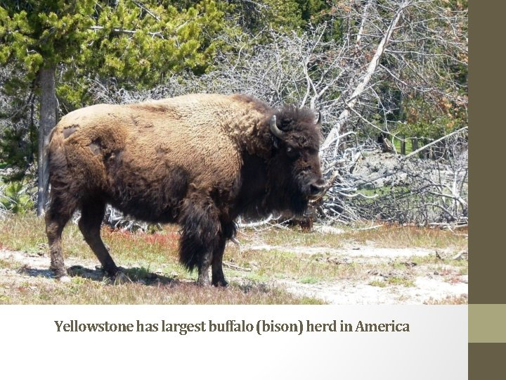 Yellowstone has largest buffalo (bison) herd in America
