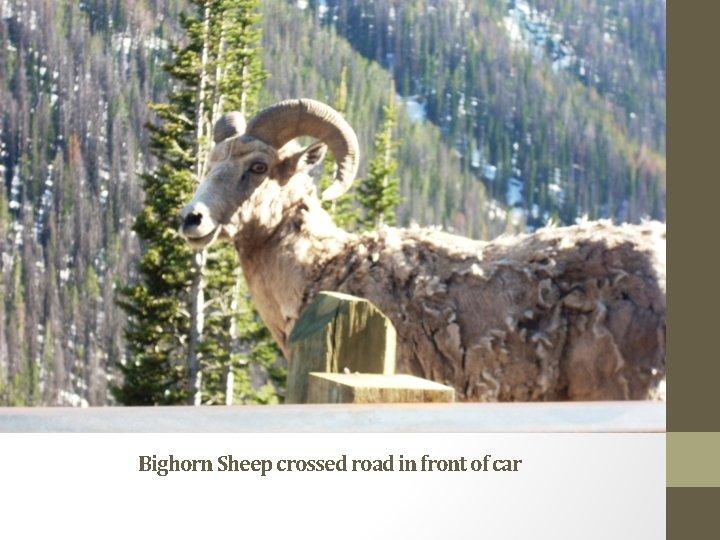 Bighorn Sheep crossed road in front of car