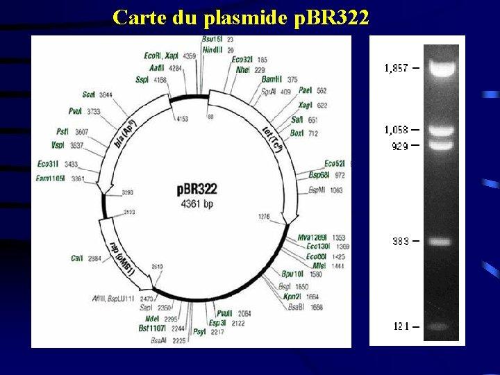 Carte du plasmide p. BR 322