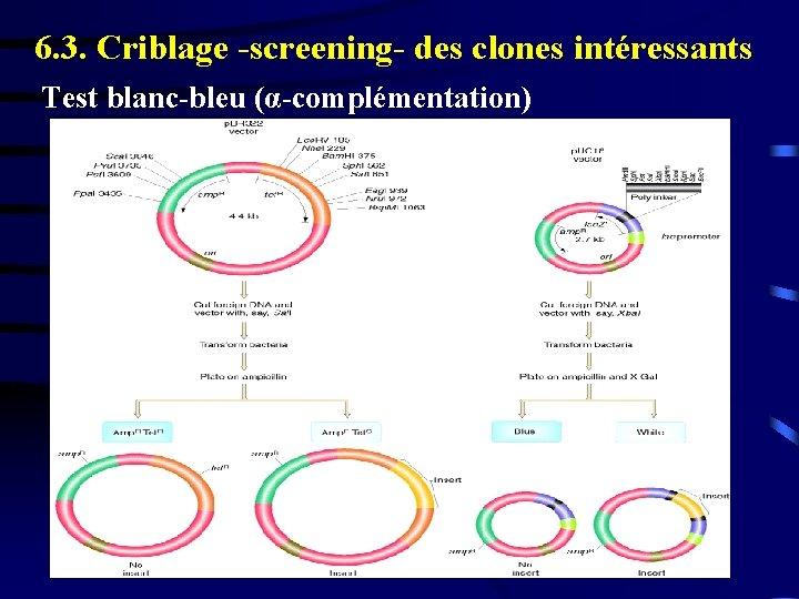 6. 3. Criblage -screening- des clones intéressants Test blanc-bleu (α-complémentation)