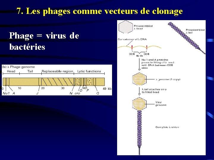 7. Les phages comme vecteurs de clonage Phage = virus de bactéries