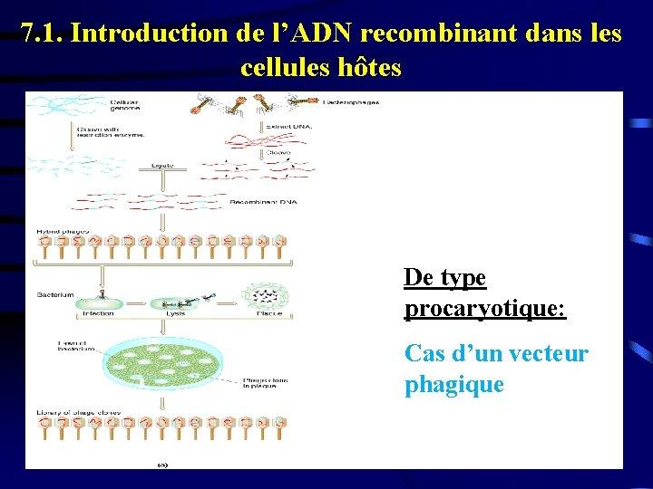 7. 1. Introduction de l'ADN recombinant dans les cellules hôtes De type procaryotique: Cas