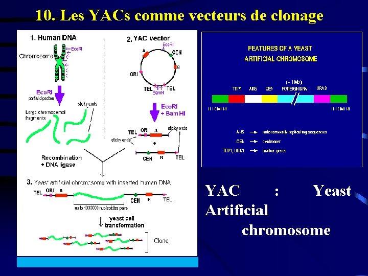 10. Les YACs comme vecteurs de clonage YAC : Yeast Artificial chromosome