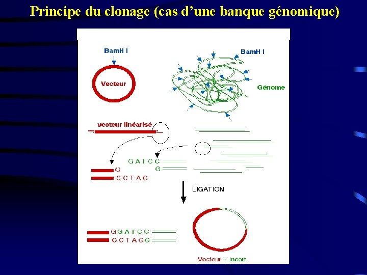 Principe du clonage (cas d'une banque génomique)
