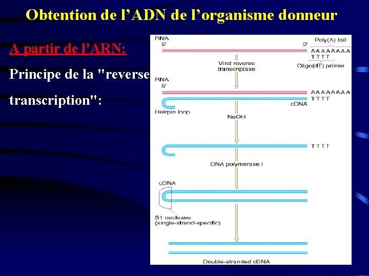 """Obtention de l'ADN de l'organisme donneur A partir de l'ARN: Principe de la """"reverse"""