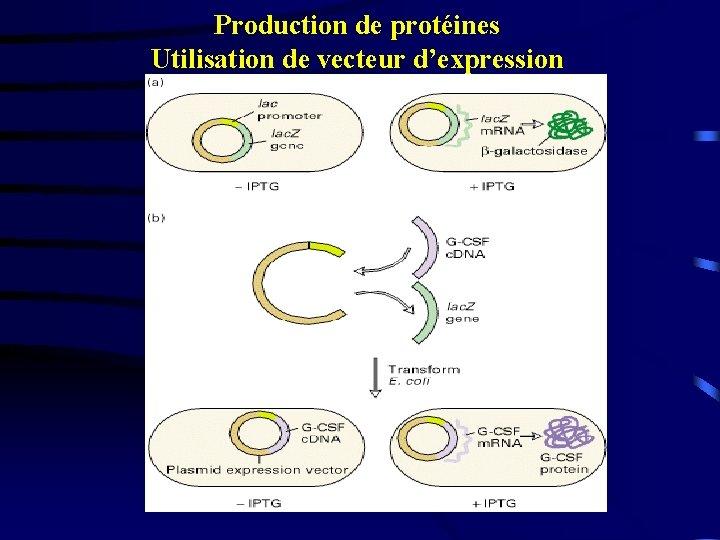Production de protéines Utilisation de vecteur d'expression