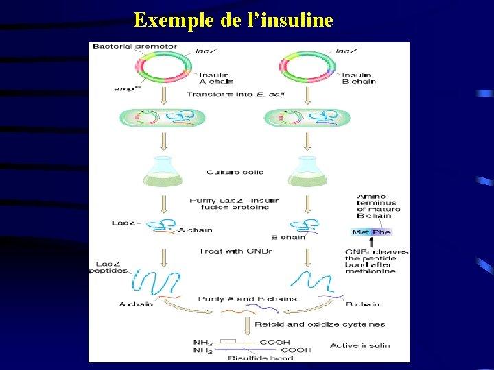 Exemple de l'insuline