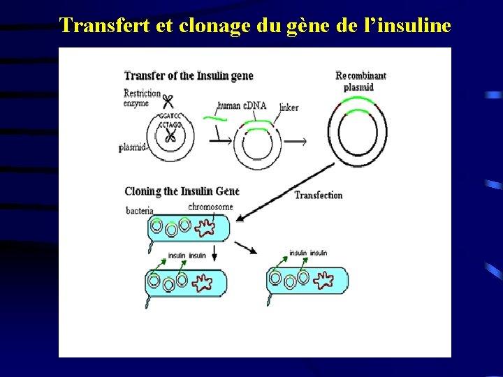 Transfert et clonage du gène de l'insuline