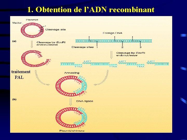 1. Obtention de l'ADN recombinant + traitement PAL