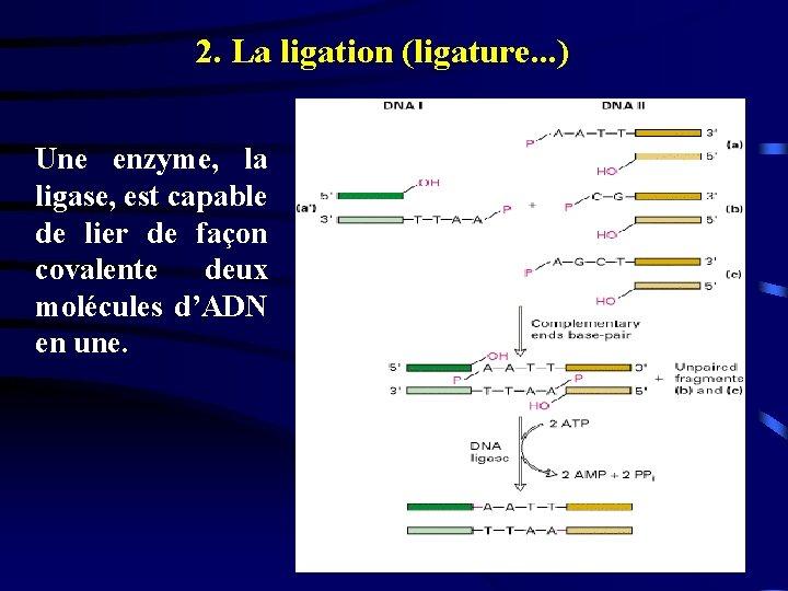2. La ligation (ligature. . . ) Une enzyme, la ligase, est capable de