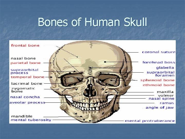 Bones of Human Skull