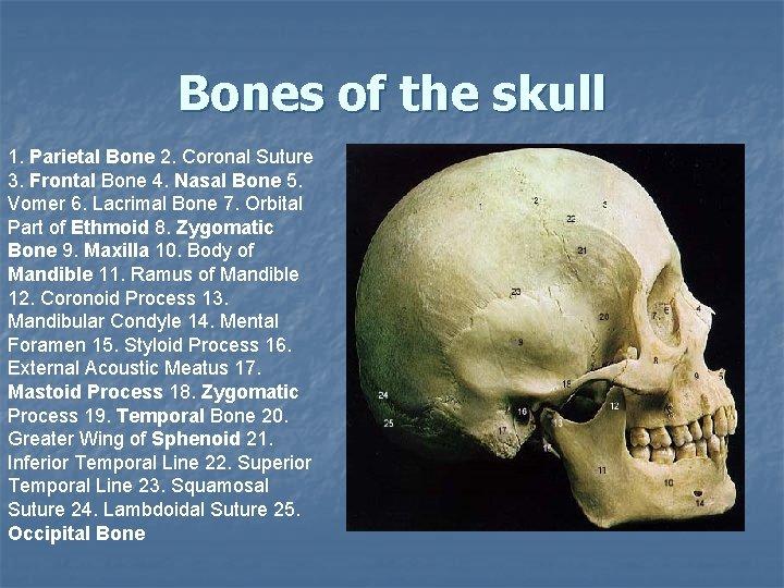 Bones of the skull 1. Parietal Bone 2. Coronal Suture 3. Frontal Bone 4.
