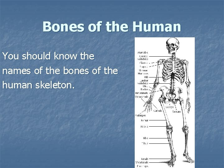 Bones of the Human You should know the names of the bones of the