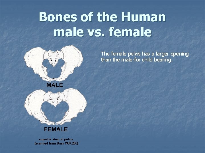 Bones of the Human male vs. female The female pelvis has a larger opening