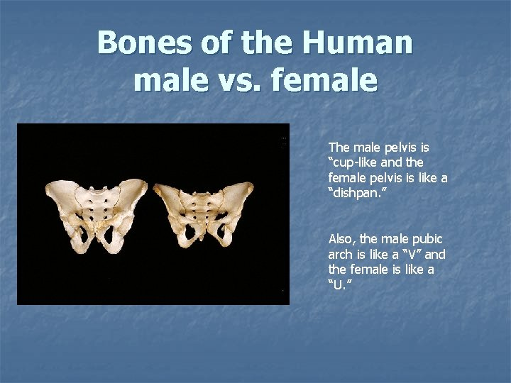 """Bones of the Human male vs. female The male pelvis is """"cup-like and the"""
