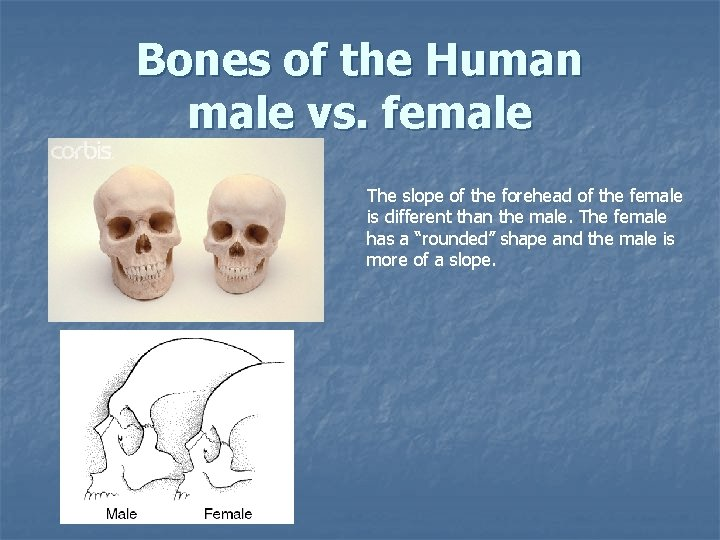 Bones of the Human male vs. female The slope of the forehead of the