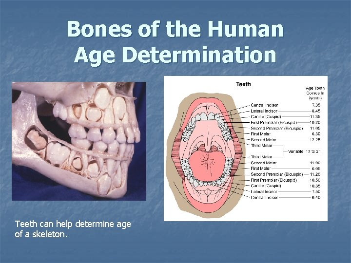 Bones of the Human Age Determination Teeth can help determine age of a skeleton.