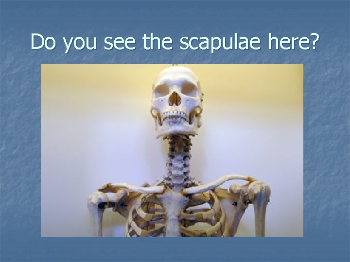 Do you see the scapulae here?
