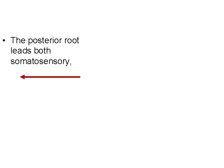 • The posterior root leads both somatosensory,