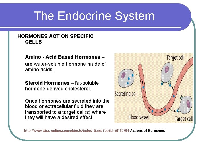 The Endocrine System HORMONES ACT ON SPECIFIC CELLS Amino - Acid Based Hormones –