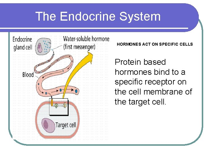 The Endocrine System HORMONES ACT ON SPECIFIC CELLS Protein based hormones bind to a