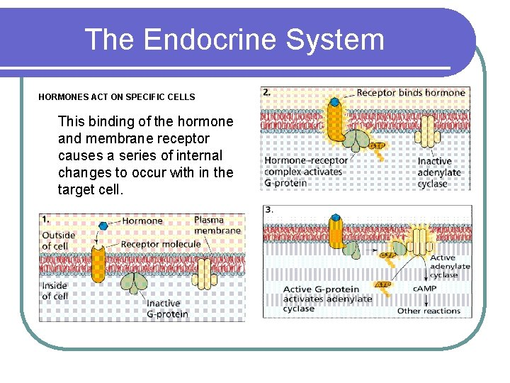 The Endocrine System HORMONES ACT ON SPECIFIC CELLS This binding of the hormone and