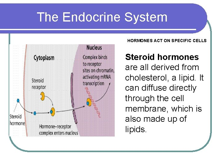 The Endocrine System HORMONES ACT ON SPECIFIC CELLS Steroid hormones are all derived from