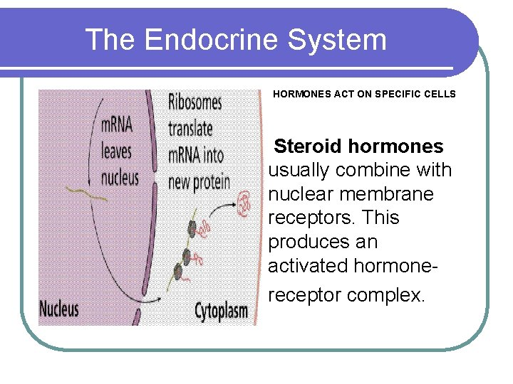 The Endocrine System HORMONES ACT ON SPECIFIC CELLS Steroid hormones usually combine with nuclear