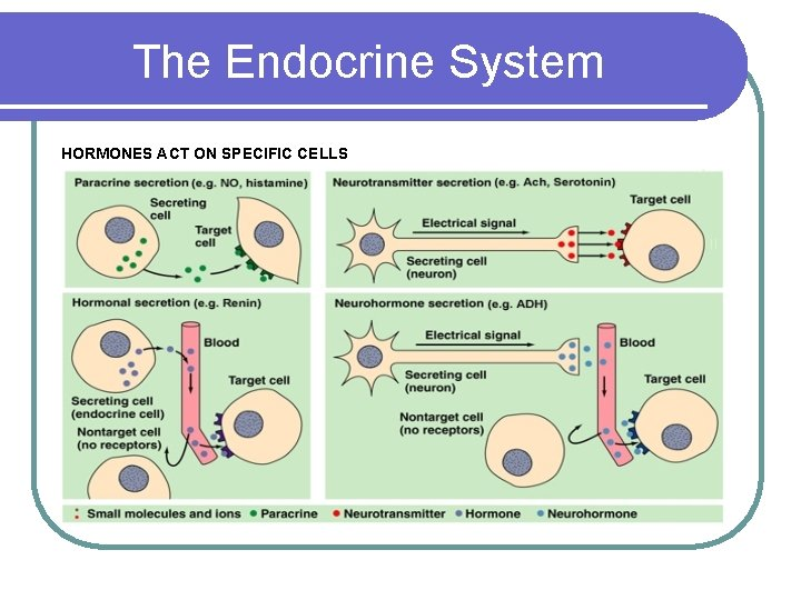 The Endocrine System HORMONES ACT ON SPECIFIC CELLS