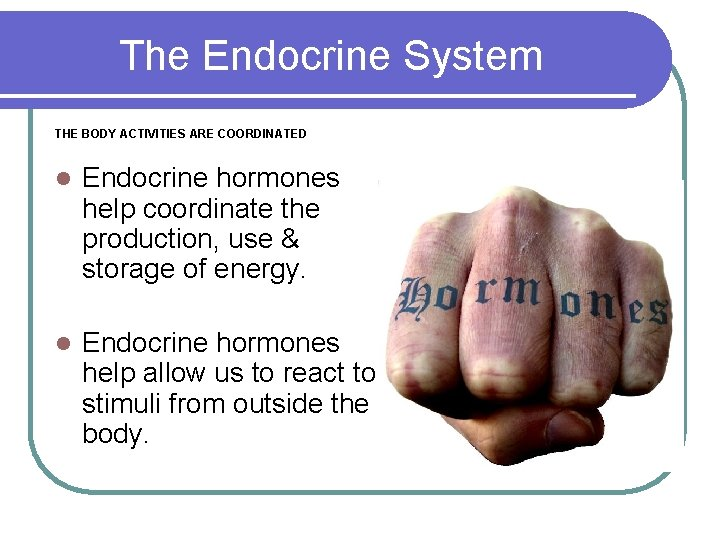 The Endocrine System THE BODY ACTIVITIES ARE COORDINATED l Endocrine hormones help coordinate the