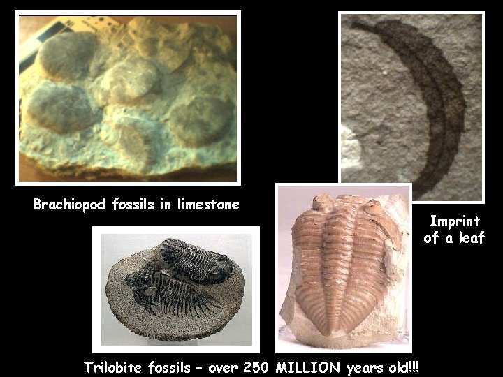 Brachiopod fossils in limestone Trilobite fossils – over 250 MILLION years old!!! Imprint of