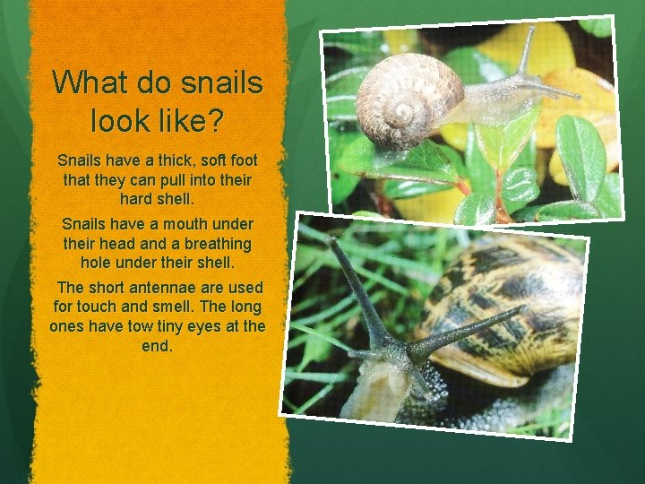 What do snails look like? Snails have a thick, soft foot that they can