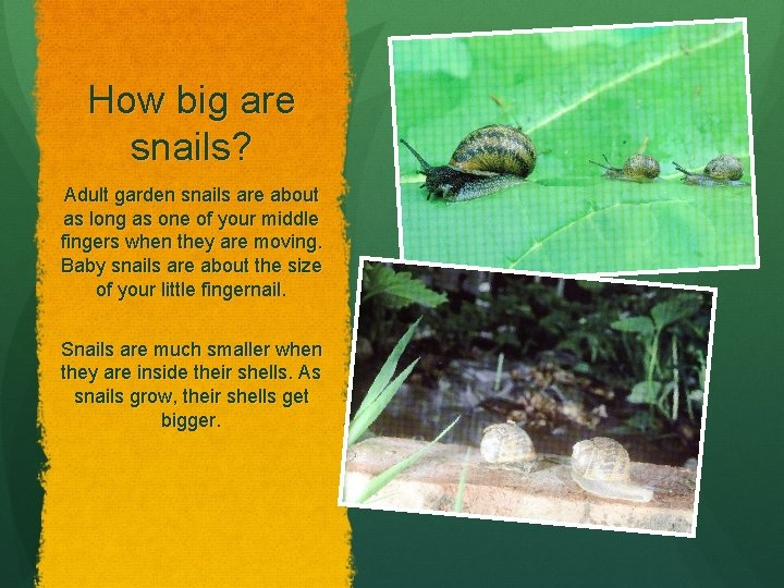 How big are snails? Adult garden snails are about as long as one of