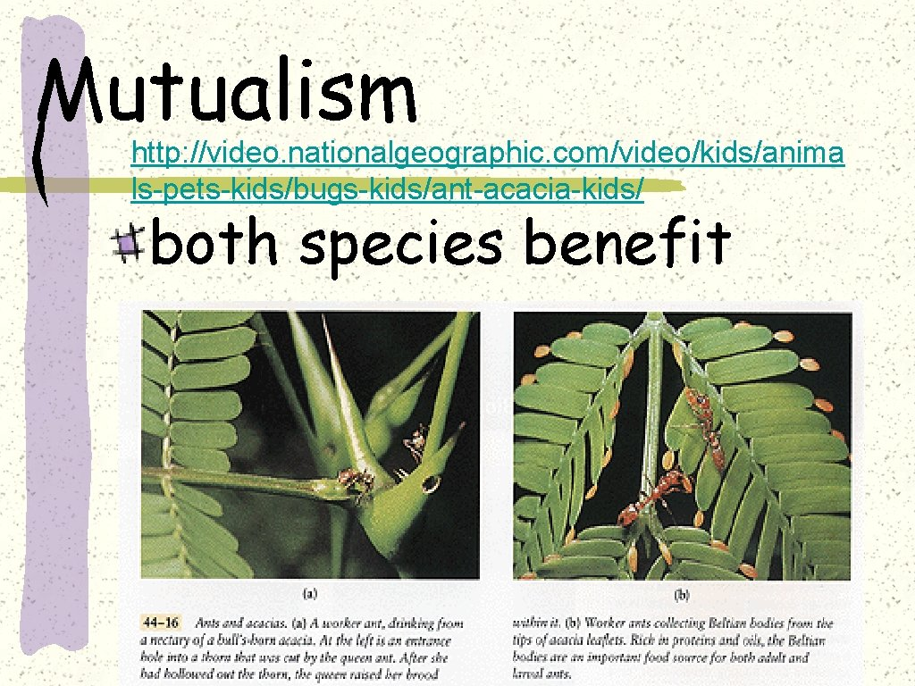 Mutualism http: //video. nationalgeographic. com/video/kids/anima ls-pets-kids/bugs-kids/ant-acacia-kids/ both species benefit