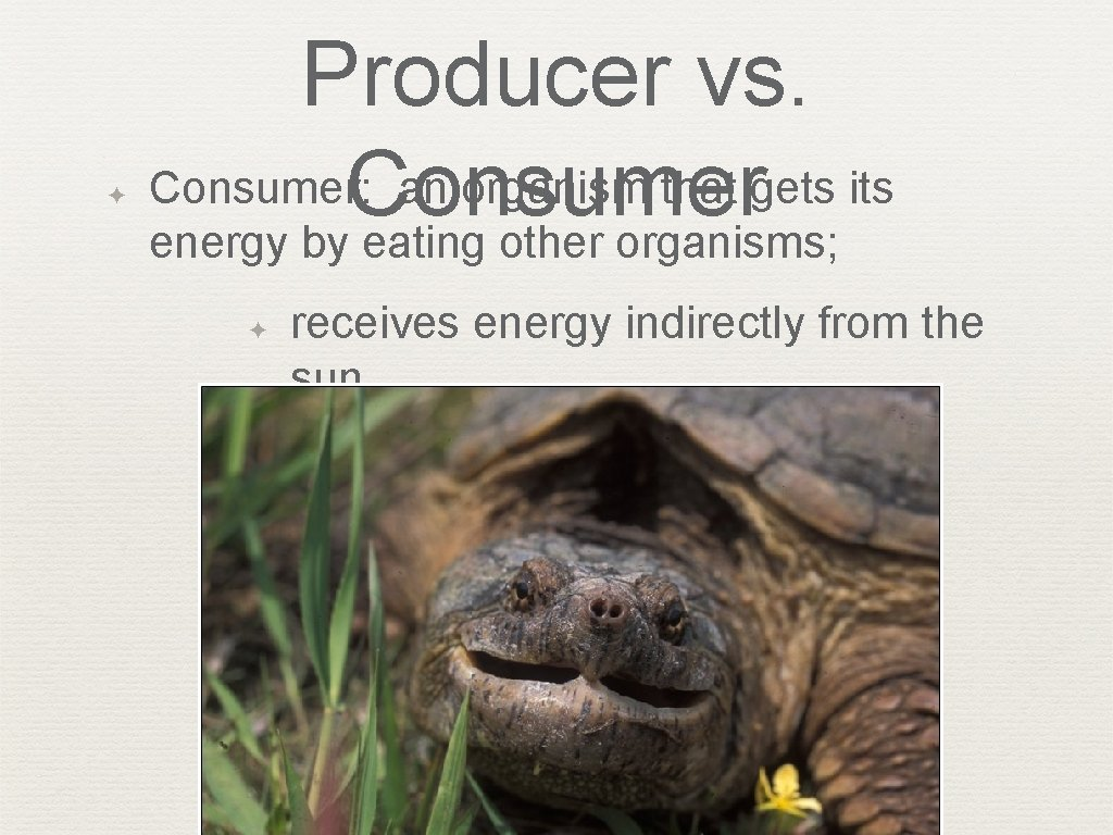 ✦ Producer vs. Consumer: an organism that gets its Consumer energy by eating other